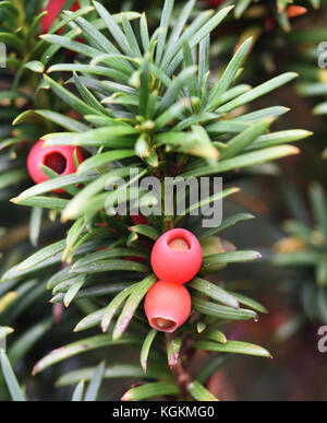 Fruiting structures, arils, and seeds of Yew (Taxus baccata). Burwash, Sussex, UK - Stock Image