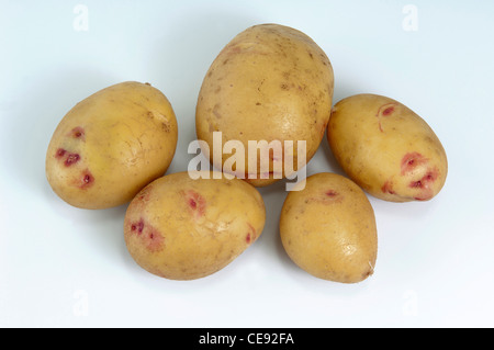Potato (Solanum tuberosum), variety: Quarta. Washed tubers, studio picture against a white background. - Stock Image