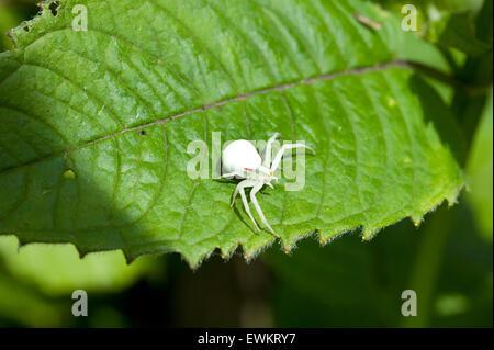 An Albino Goldenrod Crab Spider, Misumena Vatia Thomisidae, standing on a Monarda Balm Aromatic plant leaf - Stock Image