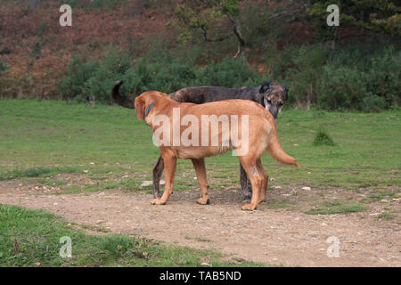 Lurcher dog and labrador, Greeting each other on country path, Surrey, England - Stock Image