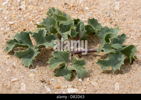 The Sea holly (Eryngium maritimum) grows on dunes Alvor Algarve Portugal Mediterranean Europe - Stock Image