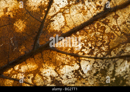 Dead oak leaf detail. - Stock Image