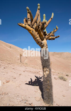 candelabrum-shaped cactus in Chili - Stock Image