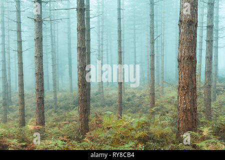 bare trees forest with fog - Stock Image
