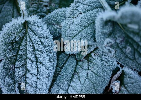 rudbeckia leaves - a Winter's hard morning frost Jane Ann Butler Photography  JABP1813 - Stock Image
