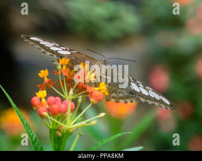 Head on view of a captive bred tropical clipper butterfly, Parthenos sylvia, feeding on milkweed, Asclepias currassavica - Stock Image