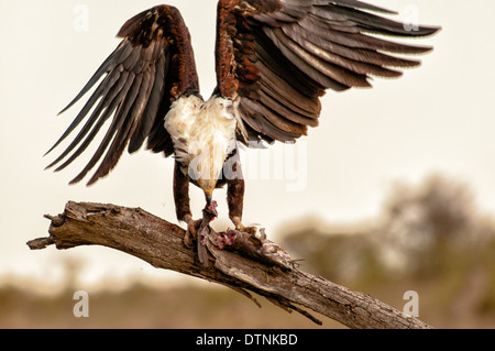African Fish Eagle, Haliaeeyus vocifer, on a tree branch eating a fish, Masai Mara National Reserve, Kenya, East Africa - Stock Image