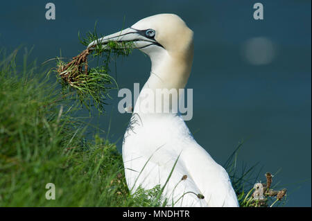 A Gannet (Morus bassanus) collecting nesting material on the cliff tops at RSPB Bempton Cliffs on the East Yorkshire coast. - Stock Image