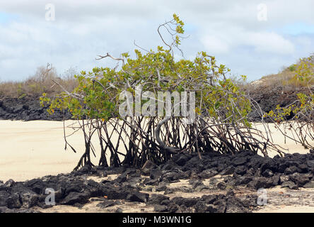 A Red Mangrove (Rhizophora mangle) tree grows from an outcrop of black lava in a white sand beach. Playa Ochoa, - Stock Image