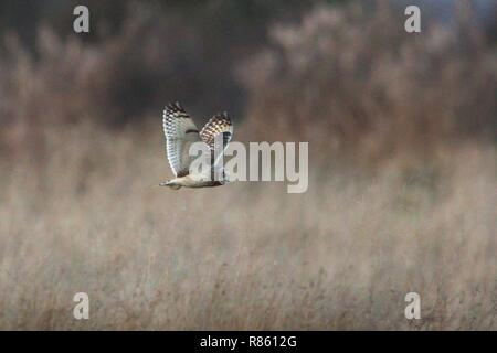 Pevensey Levels, UK. 13th Dec 2018.UK weather. A Short eared owl scans for food over the Pevensey Levels this evening after a cold day in East Sussex, UK. Credit: Ed Brown/Alamy Live News - Stock Image