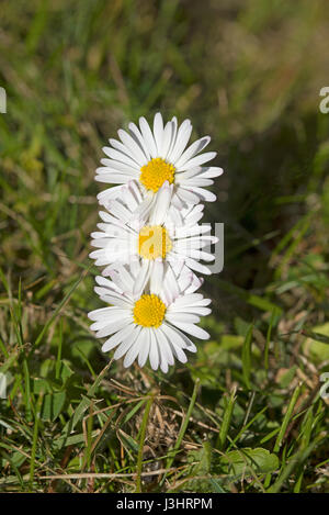 Trio of daisy flowers in a garden lawn at Cawdor, near Inverness, Highland Region Scotland. - Stock Image
