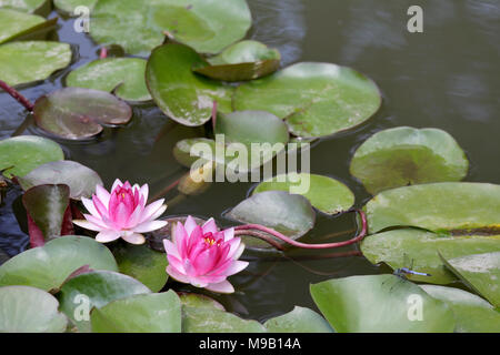 Nymphaea - Water Lily - August - Stock Image