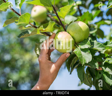 Apple picking. Female hand gathering apple from a tree. - Stock Image
