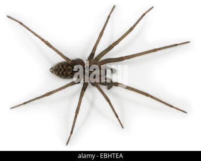 A juvenile male House-spider (Teganaria atrica), on a white background, part of the family Agelenidae - Funnel web - Stock Image