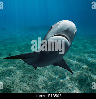 Caribbean Reef Shark (Carcharhinus perezi), Bahamas - Caribbean Sea.   Image digitally altered to remove distracting or to add more interesting backgr - Stock Image