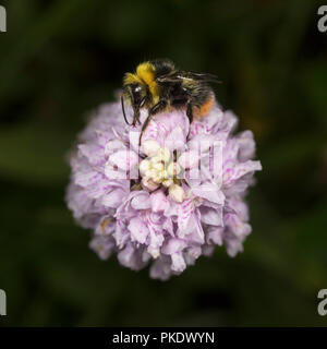 Early Bumble bee, Bombus pratorum, on Common Spotted Orchid - Stock Image