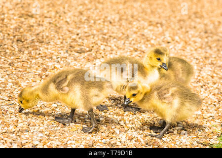 Newly born baby goslings (Canadian geese) on the banks of the river Cam in Cambridge, England, UK. - Stock Image