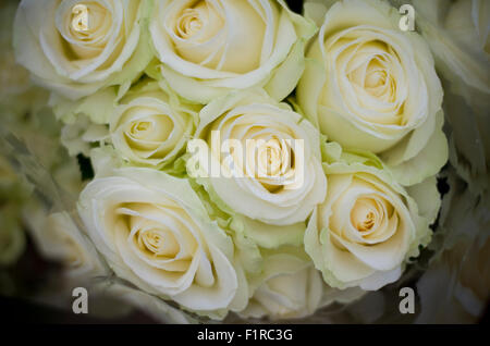 White / Cream roses close up. - Stock Image