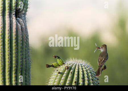 A Brown-crested Flycatcher, (Myiarchus tyrannulus brings a dragonfly to a nest in a Saguaro (Carnegiea gigantea). Tucson - Stock Image