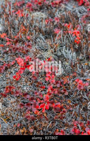 Greenland. Northeast Greenland National Park, Kong Oscar Fjord. Ella Island. Dwarf birch (Betula nana). - Stock Image