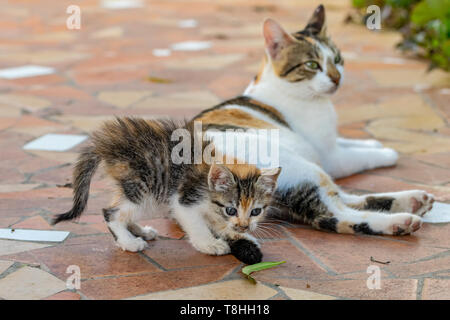 Tortoiseshell kitten curiosity playing with tail of mother cat but focused on a green leaf - Stock Image
