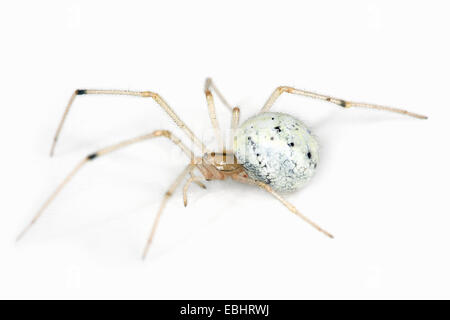 A female Candystripe (or Polymorphic) spider (Enoplognatha ovata) on a white background, part of the family Theridiidae - Stock Image