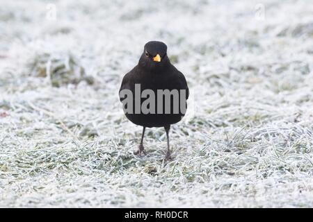 Hailsham, UK. 31st Jan, 2019. UK weather.A Blackbird (Turdus merula) struggles to find food this morning after a hard overnight frost in Hailsham, East Sussex, UK. Credit: Ed Brown/Alamy Live News - Stock Image