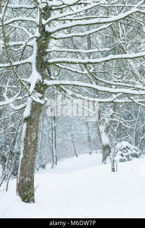 A tree covered in snow during winter in the UK - Stock Image