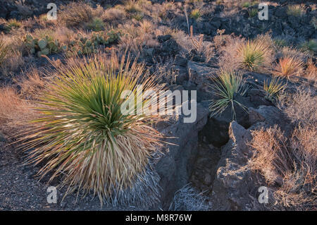 Sotol (desert spoon) in lava field, Carrizozo Malpais lava flow at Valley of Fires, Tularosa Basin near Carrizozo, - Stock Image