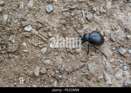 Big black beetle (appx. 2 cm long) on parched soil. Actually a Bloody-nosed Beetle (Timarcha tenebricosa) - part of the Order Coleoptera. - Stock Image