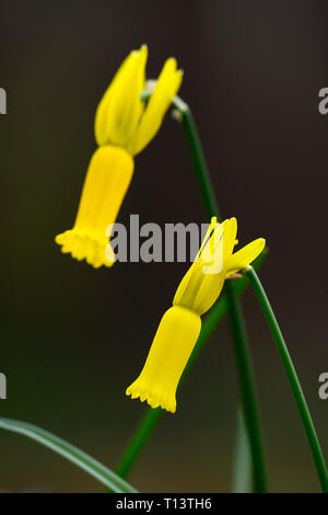 Narcissus cyclamineus,cyclamen-flowered daffodil,species daffodil,yellow flowers,flowering,spring,reflexed petals,reflex,petals,RM Floral - Stock Image