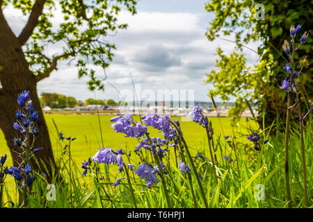 Colour landscape photograph of Spanish bluebells in bloom on bank overlooking playing field, taken on White cliff, Poole, Dorset, England. - Stock Image