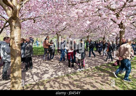 The popular Cherry Blossom Avenue at Bispebjerg Cemetery, Copenhagen, Denmark. - Stock Image