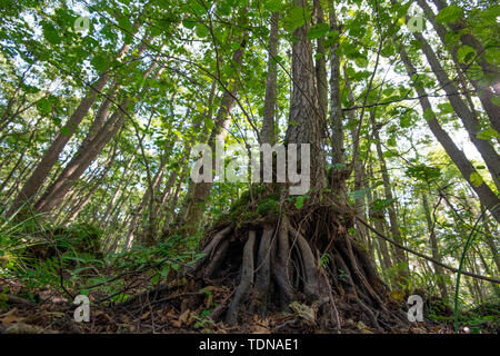 swamp forest, Western Pomerania Lagoon Area National Park, Fischland-Darss-Zingst, Mecklenburg-Western Pomerania, Germany, Europe, (Alnus glutinosa) - Stock Image