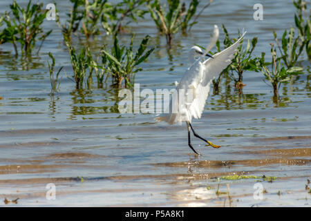 Rutland water Oakham 26 th June 2018: Little Egret lands,  bathing swans on a hot day as Gray Heron Little Egret fishing, mother feeds her young, young male Ofspray takes his fiorst flight.  Clifford Norton Alamy  Live News. - Stock Image