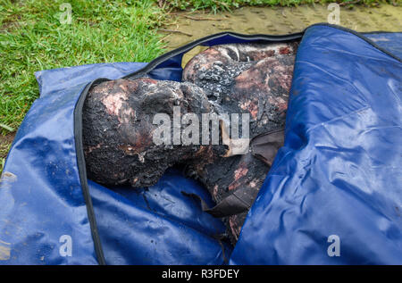 A prosthetic corpse lies in a bag ready to be used on the set in the new BBC drama 'War Of The Worlds' by HG Wells, filmed in the streets of Great Bud - Stock Image