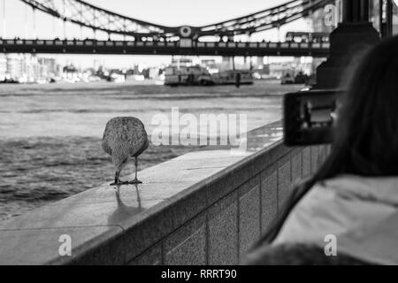 Tourist taking photos on a mobile phone of Tower Bridge and seagull Tower Bridge, London, UK - Stock Image