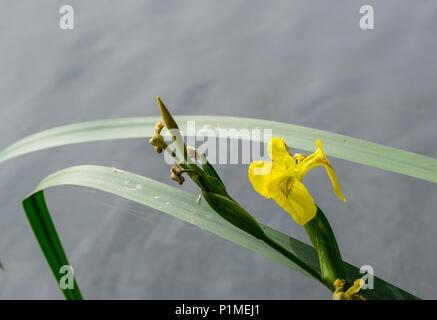 Yellow flag iris by lake - Stock Image