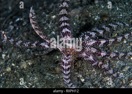 Crinoid on the sea floor displays the anal tube in the center of its tentacles. Lembeh Straits, Indonesia. - Stock Image