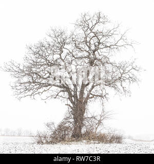 Lone Tree in Field During Winter Snowstorm - Stock Image