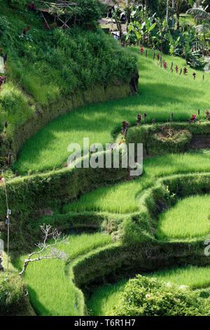 The Tegallalang Rice Terraces in Ubud, Bali, Indonesia - Stock Image