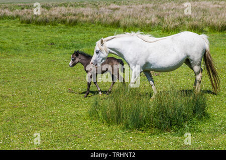 Mother and foal together on Llanrhidian Marshes near Crofty, Gower peninsula, south Wales - Stock Image