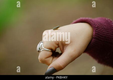 Young frog, Rana temporaria on the back of a girls' hand, Wales, UK. - Stock Image