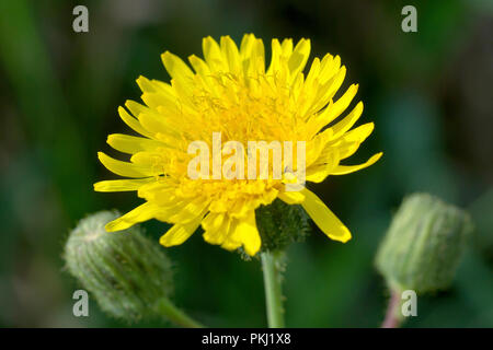 Perennial Sow-thistle (sonchus arvensis), close up of a single flower with buds. - Stock Image