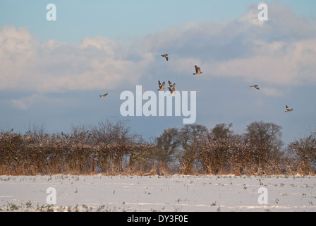 A bunch of Wood-pigeons (Columba palumbus) taking off from snow-covered oilseed rape field during winter in Britain - Stock Image