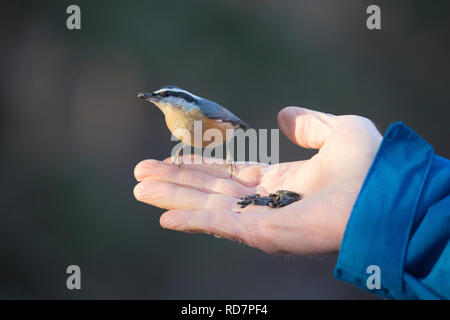 Red-breasted Nuthatch picking up a sunflower seed while perched on man's hand (Sitta canadensis) - Stock Image