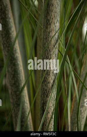 Stalks with Green Markings and Slender Leaves on Diagonal, Close-Up - Stock Image
