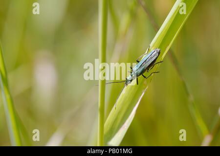 Female Oedemera nobilis beetle, Wales, UK - Stock Image