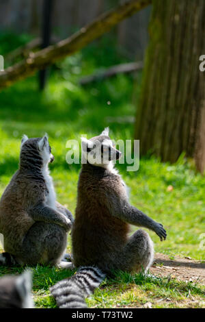 Ring-tailed lemur, lemur catta, sitting on green grass in zoo - Stock Image