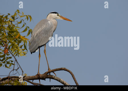 Grey heron on tree - Stock Image